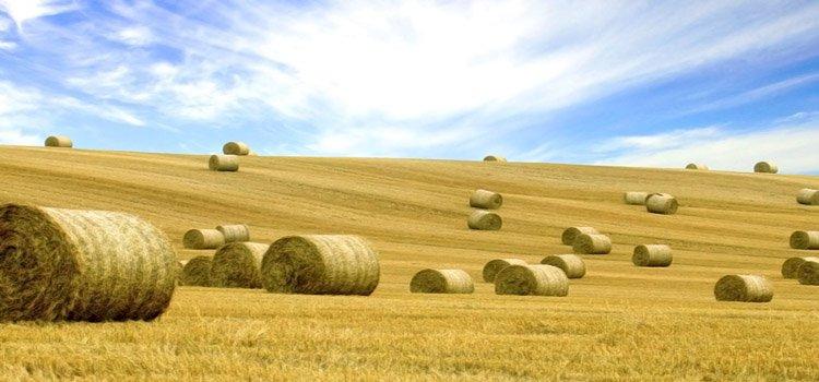 En iyi buğday yarışmasını kim kazandı?